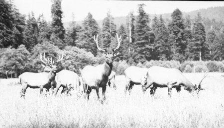 Humboldt County Elk