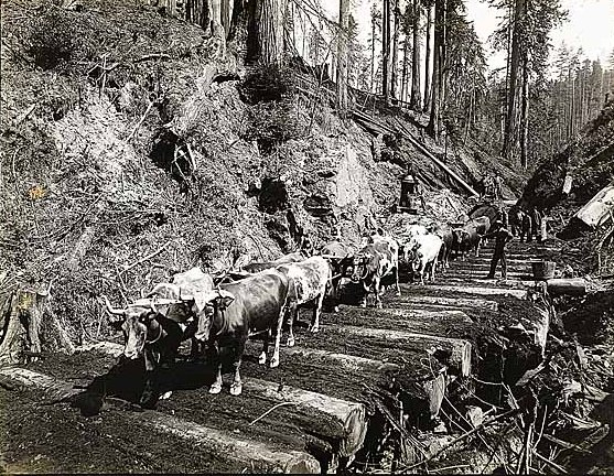 Ox Team hauling redwoods