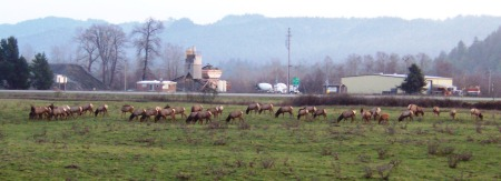 Elk herd hangin' by Hwy 299