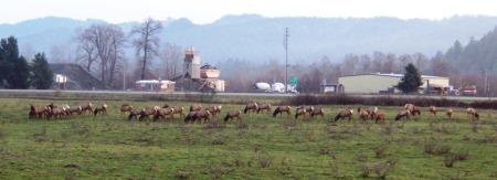 Elk herd hangin' by Hwy 299